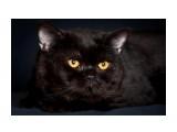 """Название: Scwarzenegger From Sharm (импорт Германия) Фотоальбом: наши кошки питомник """"Soffy"""" Категория: Животные  Время съемки/редактирования: 2010:04:28 01:04:02 Фотокамера: Canon - Canon EOS 5D Mark II Диафрагма: f/8.0 Выдержка: 1/200 Фокусное расстояние: 200/1 Светочуствительность: 100   Просмотров: 918 Комментариев: 0"""