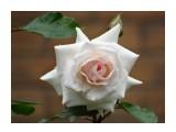 Название: DSC07411_н Фотоальбом: Розы в сквере музея Категория: Цветы  Время съемки/редактирования: 2016:07:29 10:58:36 Фотокамера: SONY - DSC-HX300 Диафрагма: f/6.3 Выдержка: 1/250 Фокусное расстояние: 21500/100    Просмотров: 46 Комментариев: 0