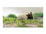 Медведь  Просмотров: 3712 Комментариев: 2
