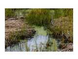 На прибрежных болотцах рясно разрослась Ряска.. Фотограф: vikirin  Просмотров: 848 Комментариев: 0
