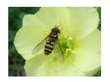 Название: Муха-журчалка   Фотоальбом: Жуки, насекомые, бабочки  и прочая живность Сахалина Категория: Макросъёмка Фотограф: 7388PetVladVik  Время съемки/редактирования: 2012:12:04 06:58:36 Фотокамера: SAMSUNG - SAMSUNG ES80/SAMSUNG ES81 Диафрагма: f/3.5 Выдержка: 1/583 Фокусное расстояние: 4900/1000    Просмотров: 4173 Комментариев: 0