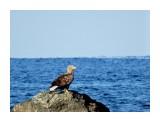 DSC01746 Белохвостый орлан. Стародубское.  Просмотров: 286 Комментариев: 2