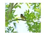 Название: Певец Фотоальбом: Птицы Категория: Животные Фотограф: Foxx  Время съемки/редактирования: 2017:06:12 17:12:41 Фотокамера: NIKON CORPORATION - NIKON D3300 Диафрагма: f/7.1 Выдержка: 1/200 Фокусное расстояние: 300/1    Просмотров: 48 Комментариев: 0