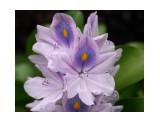 Название: Эйхорния прекрасная Фотоальбом: Тропические растения Азии Категория: Цветы  Время съемки/редактирования: 2011:01:08 15:42:17 Фотокамера: Canon - Canon EOS 400D DIGITAL Диафрагма: f/5.6 Выдержка: 1/400 Фокусное расстояние: 55/1    Просмотров: 540 Комментариев: 0