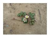 А на перевале цветет земляника! Фотограф: viktorb о. Сахалин, Яблоневый перевал!  Просмотров: 1160 Комментариев: 2