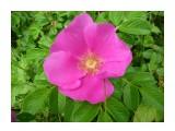 Красивый, яркий и нежный цветок  шыповника, Роза Уюновской долины!  Фотограф: viktorb  Просмотров: 897 Комментариев: 0
