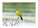 Птицы  Зеленоголовая трясогузка   Просмотров: 131  Комментариев: 0