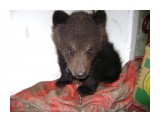 мишка-малышка медвежонок, которого отправили в Москву  Просмотров: 676 Комментариев: