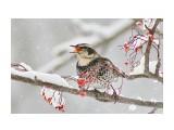 Птицы  Дрозд бурый   Просмотров: 123  Комментариев: 4