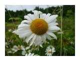 Ромашка для хорошей девушки! Фотограф: viktorb  Просмотров: 884 Комментариев: 0