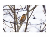 Название: Золотистый дрозд Фотоальбом: Птички Категория: Животные Фотограф: VictorV  Время съемки/редактирования: 2021:05:15 21:19:19 Фотокамера: SONY - ILCA-77M2 Диафрагма: f/6.3 Выдержка: 1/1000 Фокусное расстояние: 6000/10    Просмотров: 15 Комментариев: 0