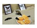 Благовещенск.На выставке бабочек Фотограф: vikirin  Просмотров: 1422 Комментариев: 0