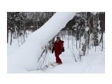 Вот так легкий снег березу до земли согнул.. Фотограф: vikirin  Просмотров: 954 Комментариев: 0