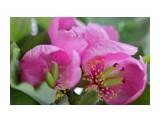 Пионы уже цветут Фотограф: Tsygankov Yuriy  Просмотров: 568 Комментариев: 2
