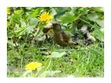 DSC01535_н Зеленушки любят семена одуванчиков  Просмотров: 569 Комментариев: 0
