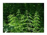 Чудо лес.. хвощ..  Фотограф: vikirin  Просмотров: 5780 Комментариев: 0