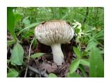 Один из первых летних грибов, сыроешка! Вид с боку! Сьеш меня и козликом станешь! Фотограф: viktorb  Просмотров: 1727 Комментариев: 0