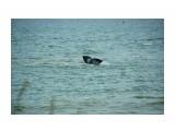 Хвостик серого кита Фотограф: В.Дейкин  Просмотров: 1203 Комментариев: 0