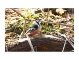 Птички  Белоспинный дятел, самка   Просмотров: 80  Комментариев: 0