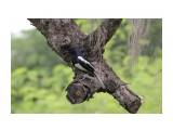 Название: Сорочий шама-дрозд (Copsychus saularis) Фотоальбом: Таиланд Категория: Животные  Время съемки/редактирования: 2021:04:26 12:25:18 Фотокамера: Canon - Canon EOS 550D Диафрагма: f/5.6 Выдержка: 1/1600 Фокусное расстояние: 135/1    Просмотров: 96 Комментариев: 0