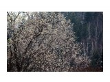 """Название: """"Сады цветут""""... Фотоальбом: МГАЧИ Категория: Природа Фотограф: vikirin  Просмотров: 1163 Комментариев: 0"""