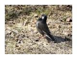 Название: Серый скворец Фотоальбом: Птицы Категория: Животные  Время съемки/редактирования: 2017:03:18 14:28:57 Фотокамера: SONY - DSC-HX300 Диафрагма: f/6.3 Выдержка: 1/250 Фокусное расстояние: 17004/100    Просмотров: 34 Комментариев: 0