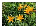 Название: Лилейник Миддендорфа. Фотоальбом: Растительный мир Сахалина Категория: Цветы Фотограф: 7388PetVladVik  Просмотров: 3461 Комментариев: 0