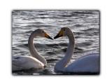 Лебеди  Просмотров: 965 Комментариев: 4
