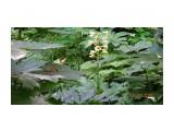 Название: DSC03944 Фотоальбом: Лето. Категория: Природа  Время съемки/редактирования: 2021:07:15 15:12:33 Фотокамера: SONY - DSC-TX30 Диафрагма: f/4.0 Выдержка: 1/80 Фокусное расстояние: 1342/100   Описание: Кардиокринум Глена (лат. Cardiocrinum glehnii) или Лилия Глена — растение из семейства лилейных. Вид назван в честь Петра Петровича Глена (1835—1876), российского флориста, систематика растений, путешественника, географа и гидрографа, исследователя Приамурья и Сахалина. Многолетнее растение, с крупной луковицей (до 12 см в диаметре). Стебель полый до 2 м высотой, гладкий, прямой. Цветки у растения белые Кардиокринум Глена отличается тем, что цветёт только один раз в жизни. Встречается в нашей стране только на юге Сахалина и на острове Кунашир. За пределами России — на островах Хоккайдо и Хонсю. Реликтовый вид, занесённый в красную книгу.  Просмотров: 12 Комментариев: 0