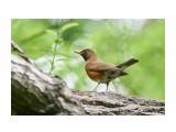 Птички  Золотистый дрозд   Просмотров: 167  Комментариев: 0