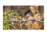Вот это удача! :) Kingfisher!  Просмотров: 437 Комментариев: