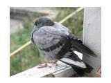 Название: сосед спит Фотоальбом: мой птичник на балконе Категория: Животные  Время съемки/редактирования: 2011:09:16 16:44:35 Фотокамера: OLYMPUS IMAGING CORP.   - SP570UZ                 Диафрагма: f/4.4 Выдержка: 10/4000 Фокусное расстояние: 3591/100 Светочуствительность: 800  Описание: Уже неделя, как голубёнок живёт на моём балконе.  Просмотров: 763 Комментариев: 0