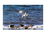 Чайки почти ручные... рядом и не боятся Фотограф: vikirin  Просмотров: 1389 Комментариев: 0