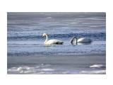 Лебеди Фотограф: Tsygankov Yuriy  Просмотров: 212 Комментариев: 0