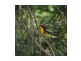 Название: Японская мухоловка Фотоальбом: Птицы Категория: Животные  Просмотров: 86 Комментариев: 0