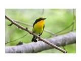 Птички  Японская мухоловка, самец   Просмотров: 65  Комментариев: 0