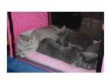 """Название: IMG_5607 Фотоальбом: наши кошки питомник """"Soffy"""" Категория: Животные  Время съемки/редактирования: 2009:12:20 10:59:10 Фотокамера: Canon - Canon EOS 1000D Диафрагма: f/5.0 Выдержка: 1/60 Фокусное расстояние: 41/1 Светочуствительность: 400  Описание: британская к/ш  Просмотров: 1196 Комментариев: 7"""
