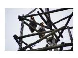Белоплечие орланы Фотограф: В.Дейкин  Просмотров: 685 Комментариев: 1