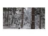 В лесу берендеевском... Фотограф: vikirin  Просмотров: 1838 Комментариев: 0