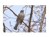Название: Бюльбюль весенний :)) Фотоальбом: Птички Категория: Животные Фотограф: VictorV  Время съемки/редактирования: 2020:04:02 21:26:55 Фотокамера: SONY - DSLR-A900 Диафрагма: f/6.3 Выдержка: 1/3200 Фокусное расстояние: 6000/10    Просмотров: 9 Комментариев: 1