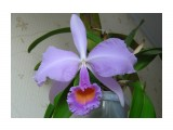 Cattleya schroederae var. select form  Просмотров: 510 Комментариев: