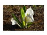 Самый красивый цветок Сахалина... Фотограф: vikirin  Просмотров: 2718 Комментариев: 0