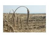 Пшеница Фотограф: NIK  Просмотров: 349 Комментариев: 0
