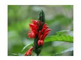 Название: Пахистахис красный Фотоальбом: Тропические растения Азии Категория: Цветы  Время съемки/редактирования: 2015:03:29 15:48:03 Фотокамера: Canon - Canon EOS 400D DIGITAL Диафрагма: f/4.5 Выдержка: 1/250 Фокусное расстояние: 149/1    Просмотров: 438 Комментариев: 0