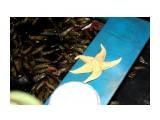 Звездочка морская Фотограф: vikirin  Просмотров: 1462 Комментариев: 0