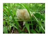 Сыроежка, лесной красоты! В объятьях  зеленой травы! Фотограф: viktorb  Просмотров: 1002 Комментариев: 0