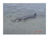 дельфин-самоубийца!  Просмотров: 1994 Комментариев: