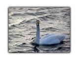 Лебеди  Просмотров: 452 Комментариев: 4