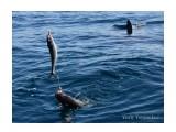 первый улов Геннадия, а за ним плавник акулы