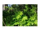 Зелень.. буйная летняя... Фотограф: vikirin  Просмотров: 1767 Комментариев: 0